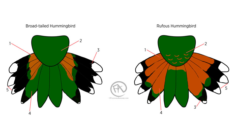 Broad-tailed Hummingbird tail and Rufous Hummingbird tail (top side)