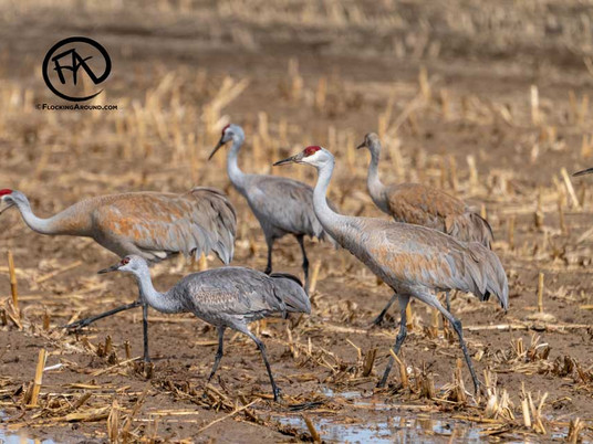 Sandhill Cranes in Wyoming