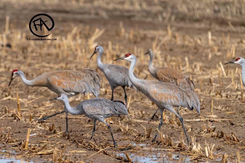 Lesser Sandhill Crane vs Greater Sandhill Crane
