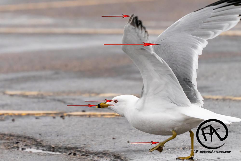 Ring-billed Gull identification tips