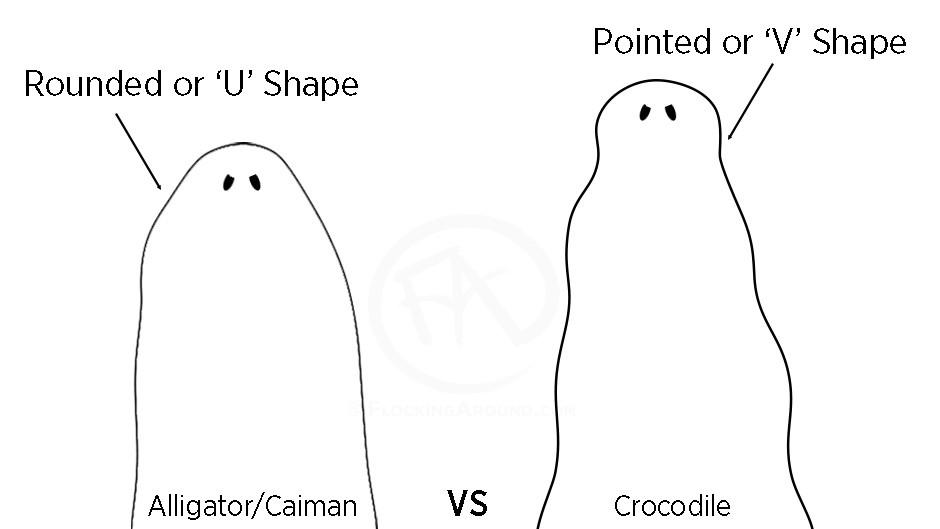 Alligator head shape vs crocodile head shape