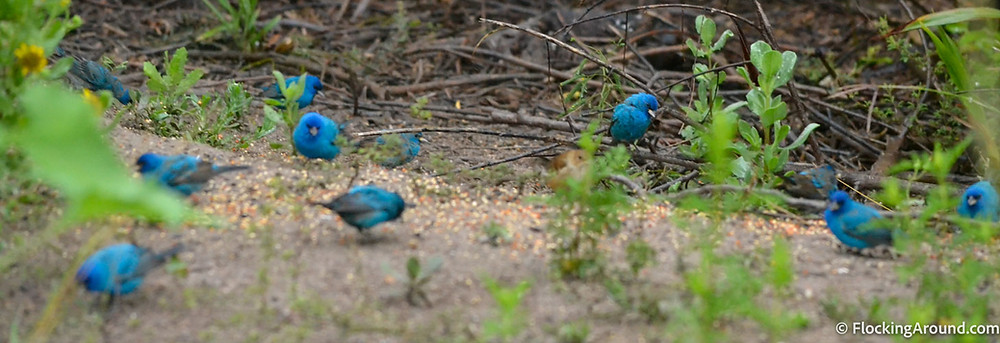 Flocks of Indigo Buntings