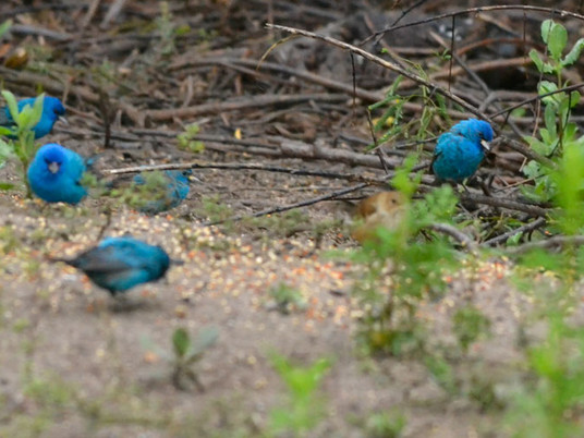 What is a migratory bird fallout?