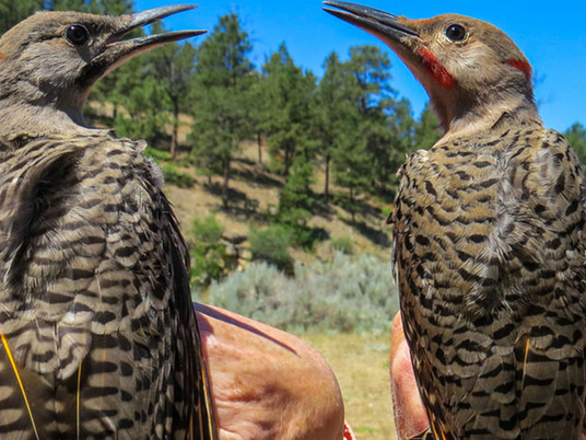 Northern Flicker Intergrades - Red-shafted vs Yellow-shafted Flickers