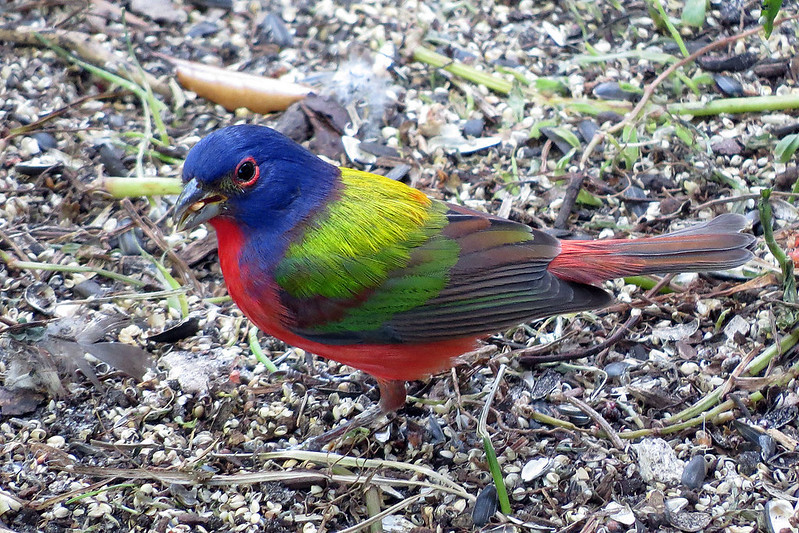 Painted Bunting by Don Faulkner