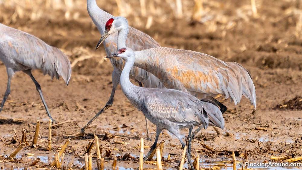 Lesser Sandhill Crane with Greater Sandhill Crane