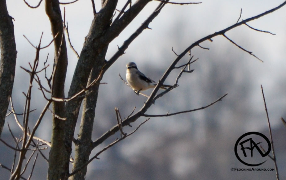 Northern Shrike during an Audubon Christmas Bird Count