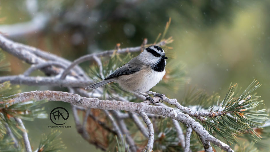 Mountain Chickadee on a limber pine
