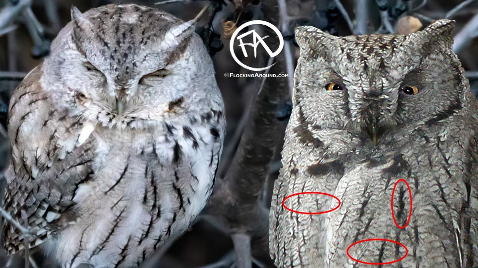Western Screech Owl (right) with a darker ventral area, denser AND thicker horizontal barring, and thicker vertical streaking.