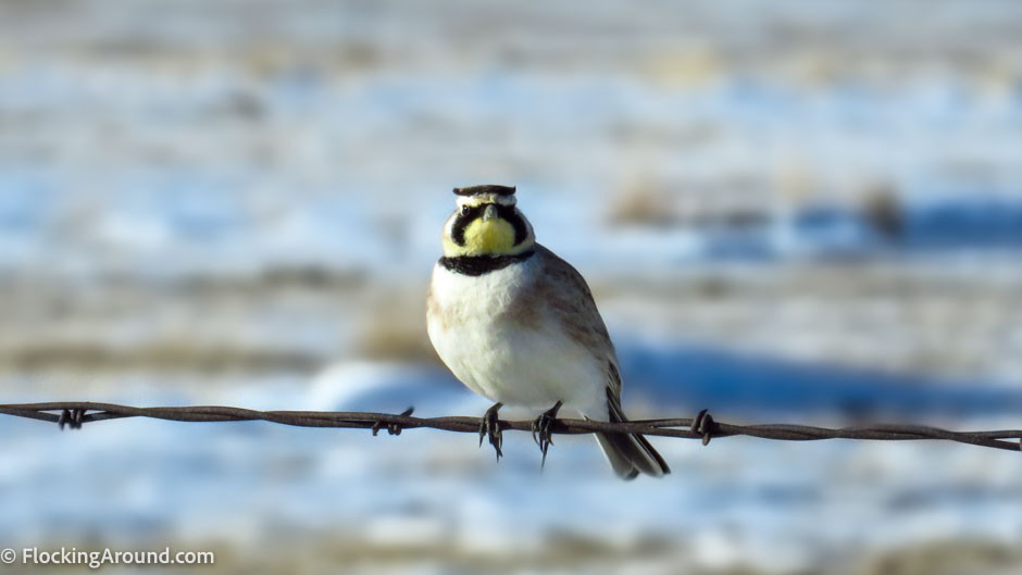 Horned Lark Shot with a Superzoom
