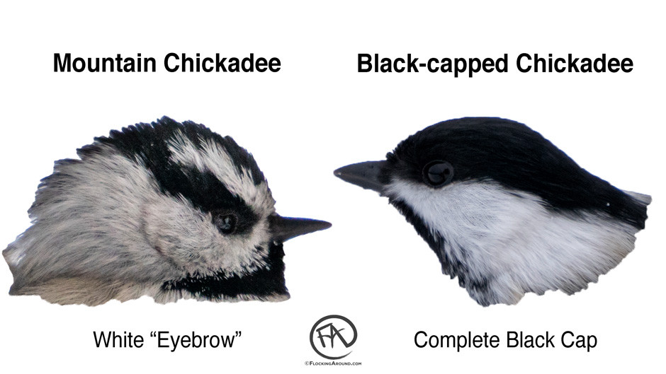 Mountain Chickadee vs Black-capped Chickadee