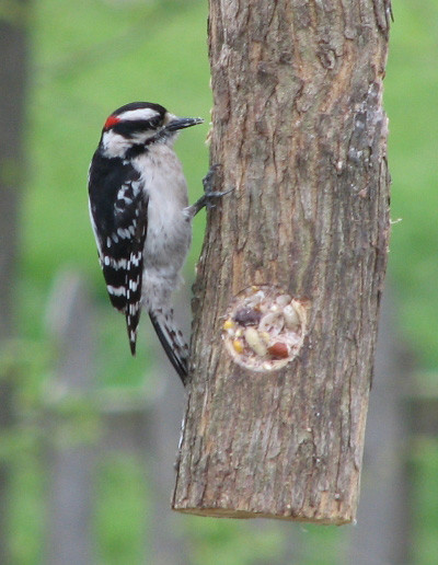 Downy Woodpecker on a Suet Log