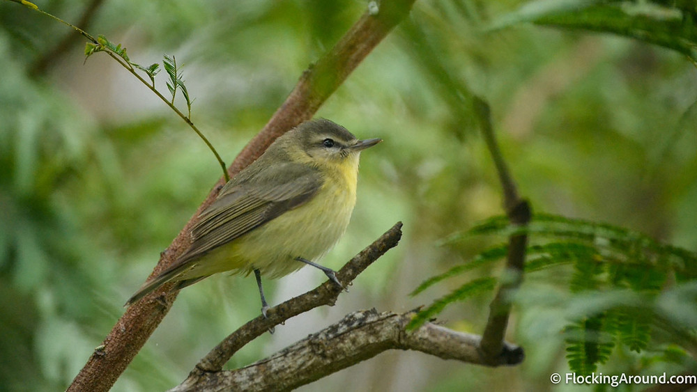 A Philadelphia Vireo searches for food amongst the fallout