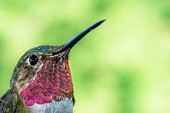 broad-tailed-hummingbird-close-up.jpg
