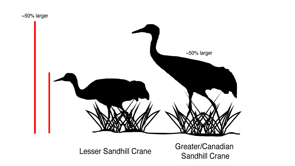 Size Comparison of Greater and Lesser Sandhill Crane & Silhouette Comparison