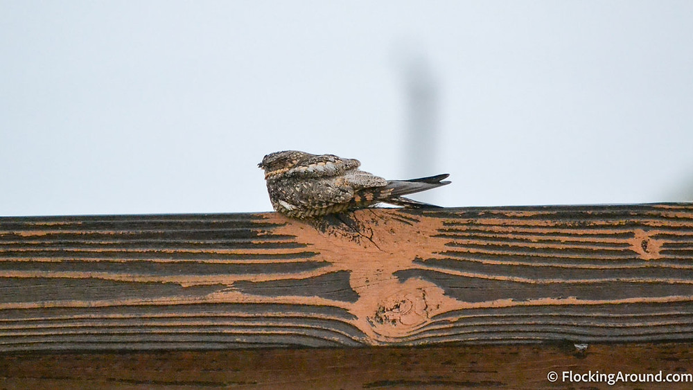 One of my favorite birds from the day, a Lesser Nighthawk!