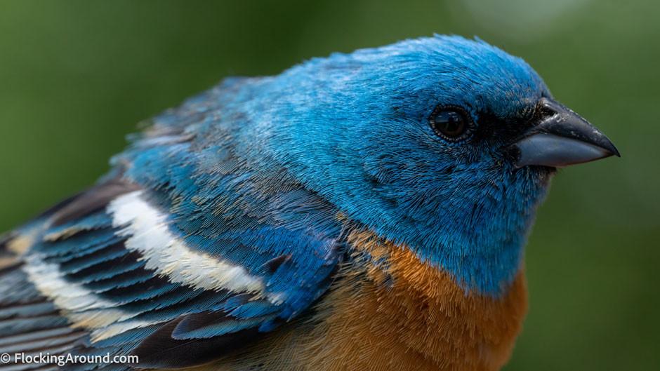 Adult Male Lazuli Bunting