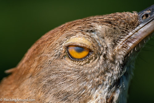 Brown Thrasher blinking with its nictitating membrane