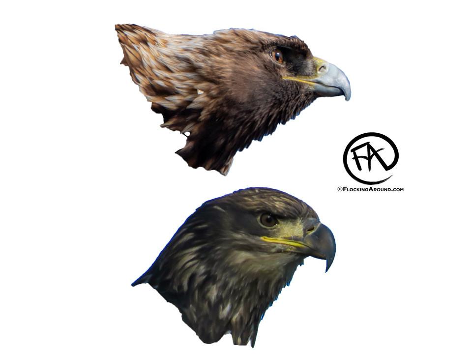 Golden Eagle Beak vs Bald Eagle Beak