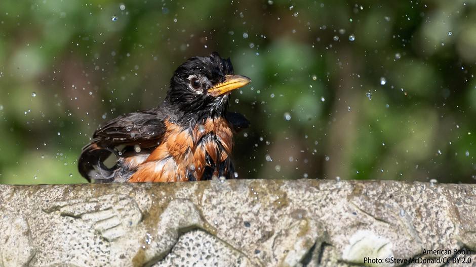 American Robin in a birdbath