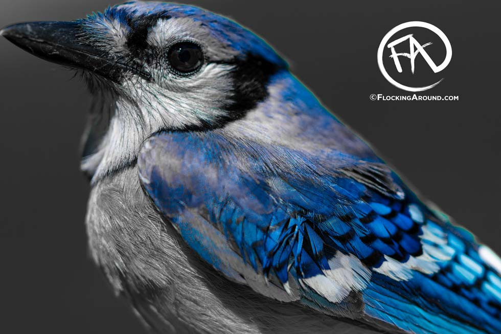Blue Jay in the West