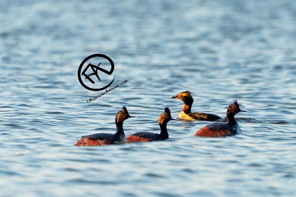 Identify the Eared Grebe(s) in this photo. (Answer at the bottom of the post.)