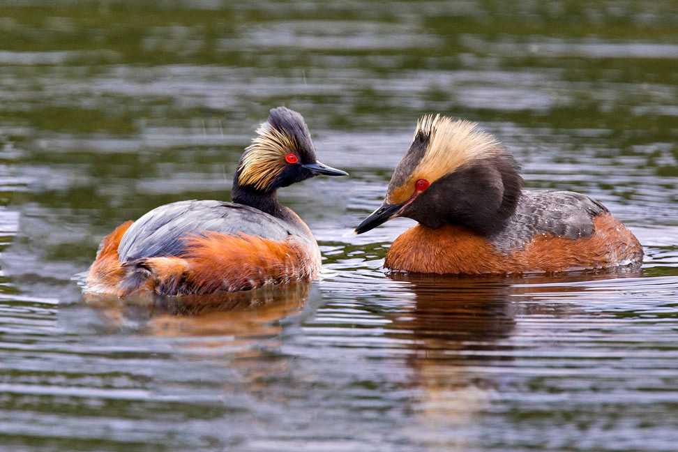 Horned Grebe (right) - Compare the horn-shaped plumicorn, thicker bill, and eye placement with the Eared Grebe (left).