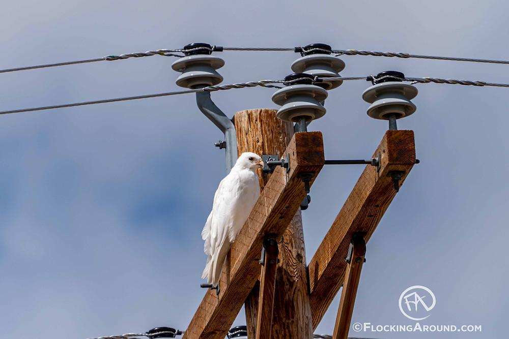 White or Leucistic Hawk