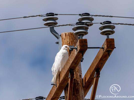 White Hawk - A Leucistic Red-tailed or Swainson's Hawk