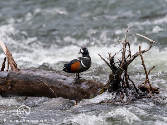 Birding in Yellowstone: LeHardy Rapids