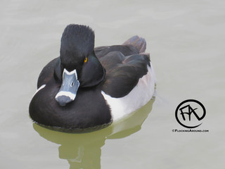 Ring-necked Duck from a Christmas Bird Count