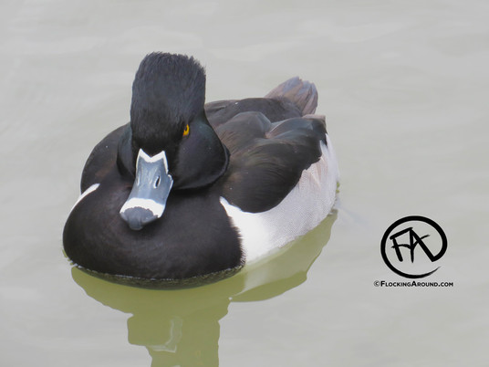 Birding in Wyoming: Grey Reef Reservoir