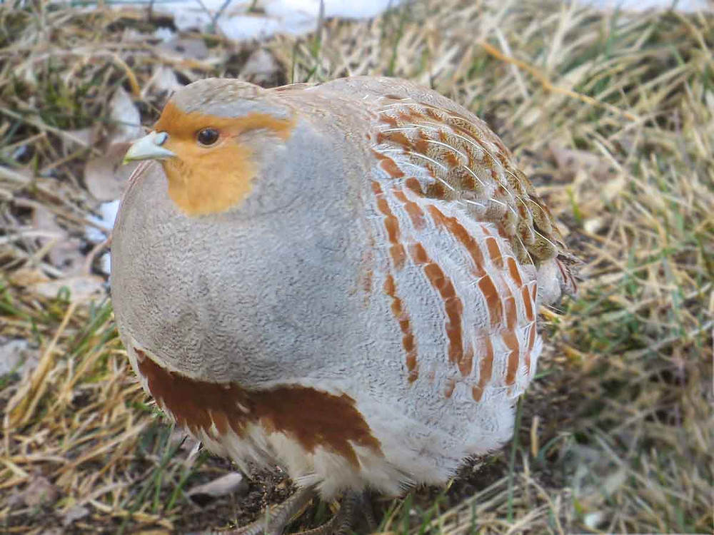 Gray Partridge (Hungarian Partridge)