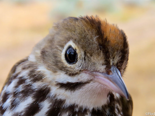 Top 10 Warblers - The Best Warblers of North America