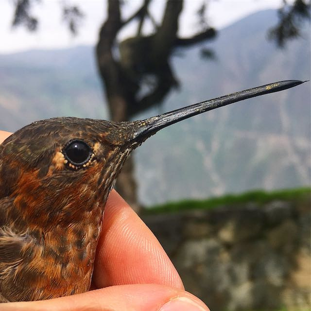 Giant Hummingbird in the Andes