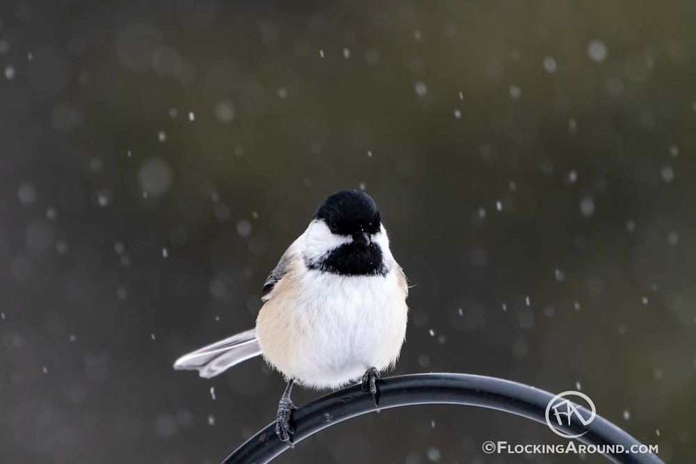 Black-capped Chickadee in Wyoming