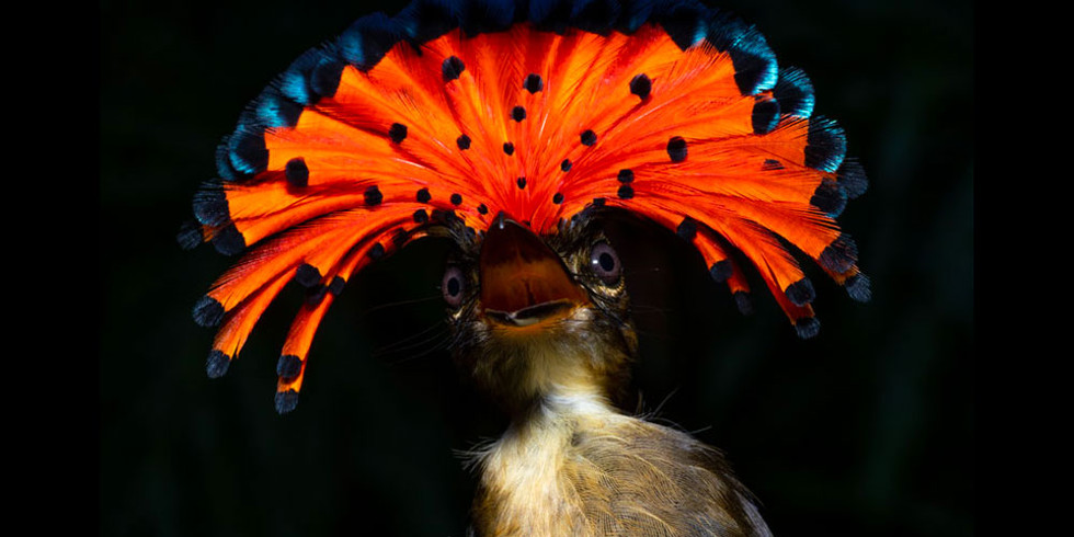 Royal-Flycatcher-with-crown.jpg