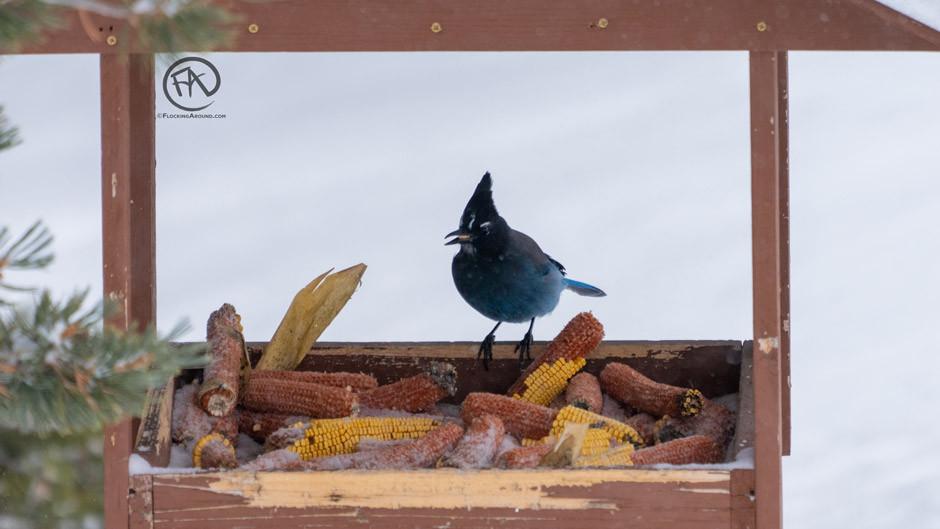 Steller's Jay sitting in a homemade bird feeder