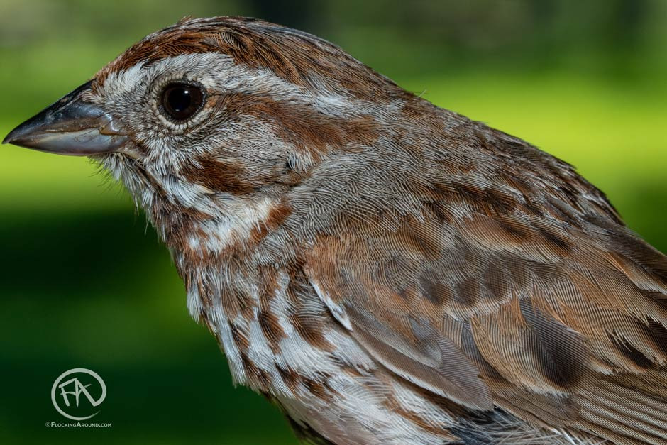 Close-up of a Song Sparrow