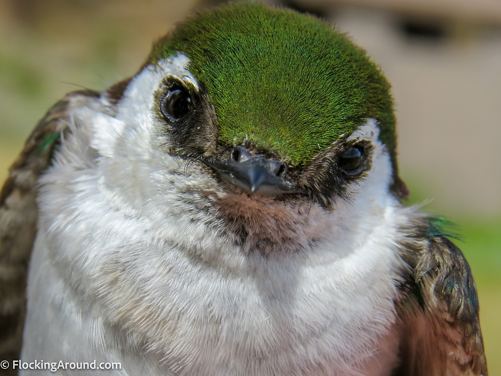 Check out the white arc behind the eye of the Violet-green Swallow