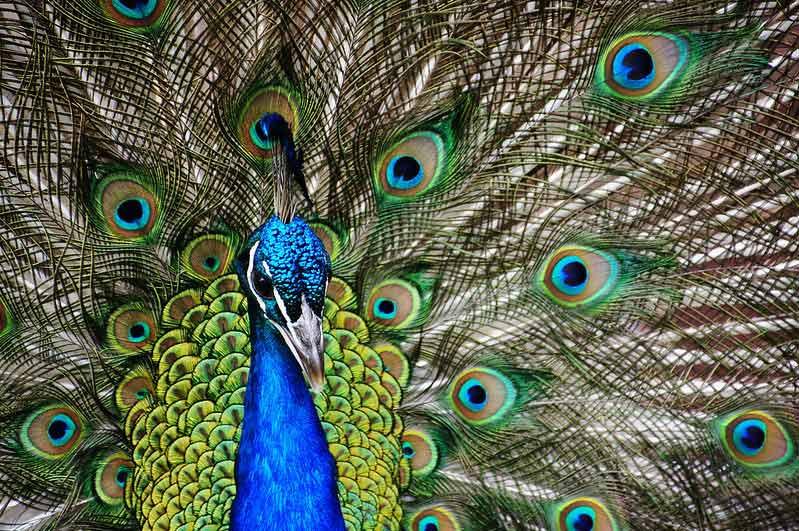 Indian Peafowl (Peacock). Photo Bernard Spragg. NZ