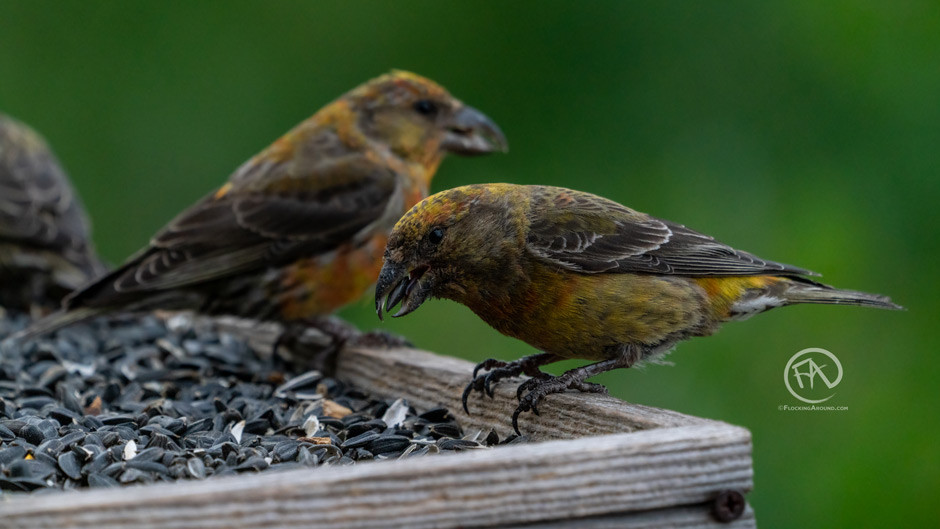 The feeder and bird models for the crossbill cake.