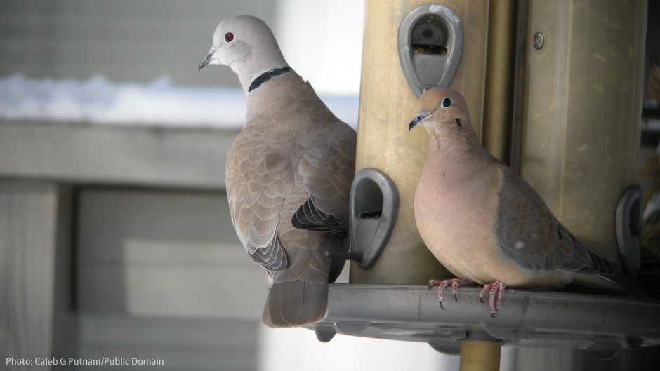 Eurasian Collared-Dove (left) vs Mourning Dove (right)