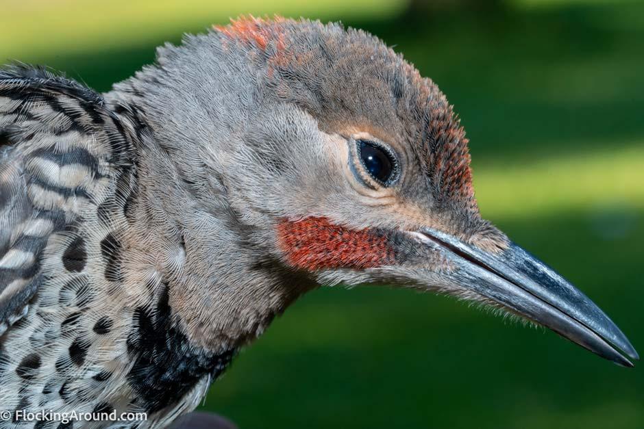 male northern flicker intergrade