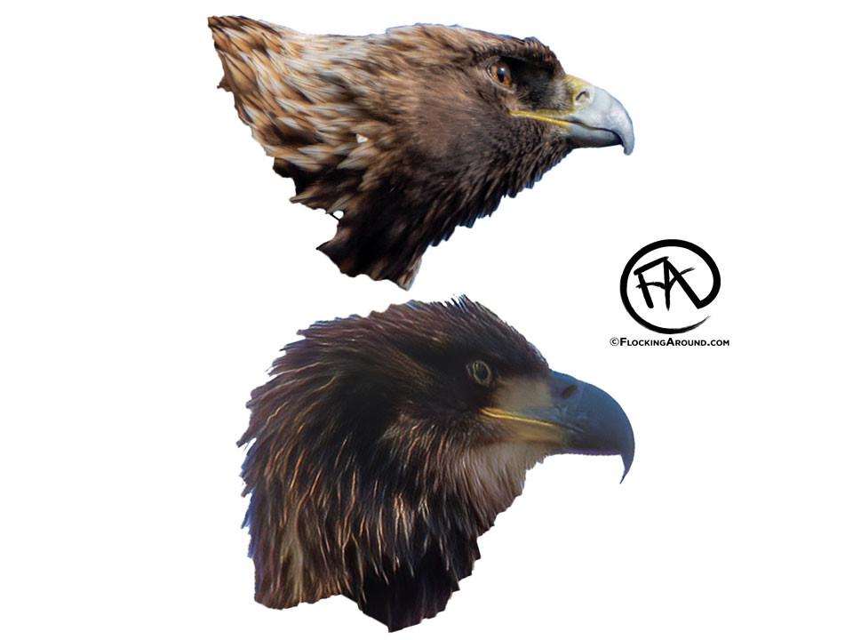 Golden Eagle (top) vs Immature Bald Eagle (bottom).