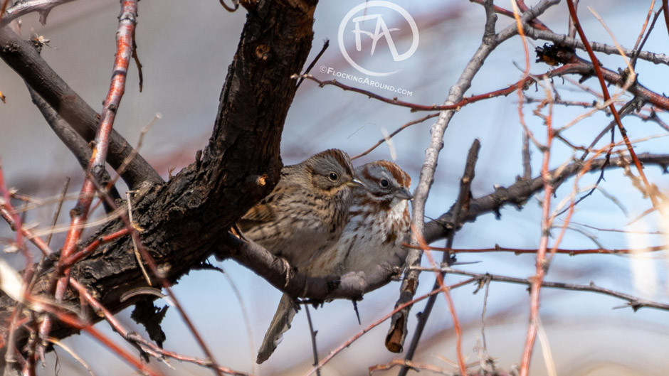 Lincoln's Sparrow (left) and Song Sparrow (right)