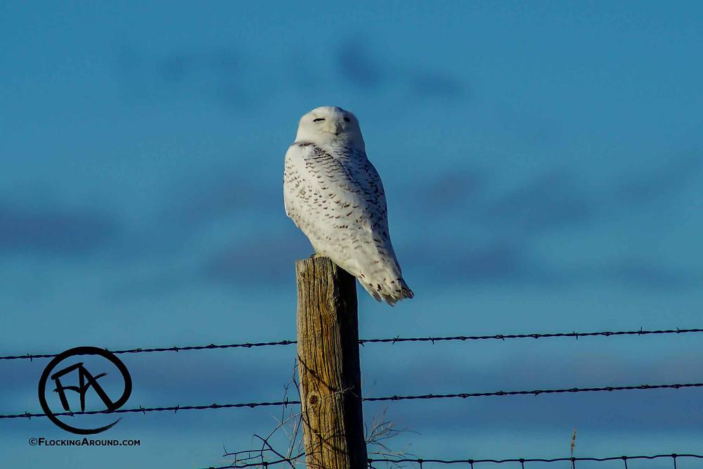 Snowy Owl Wyoming