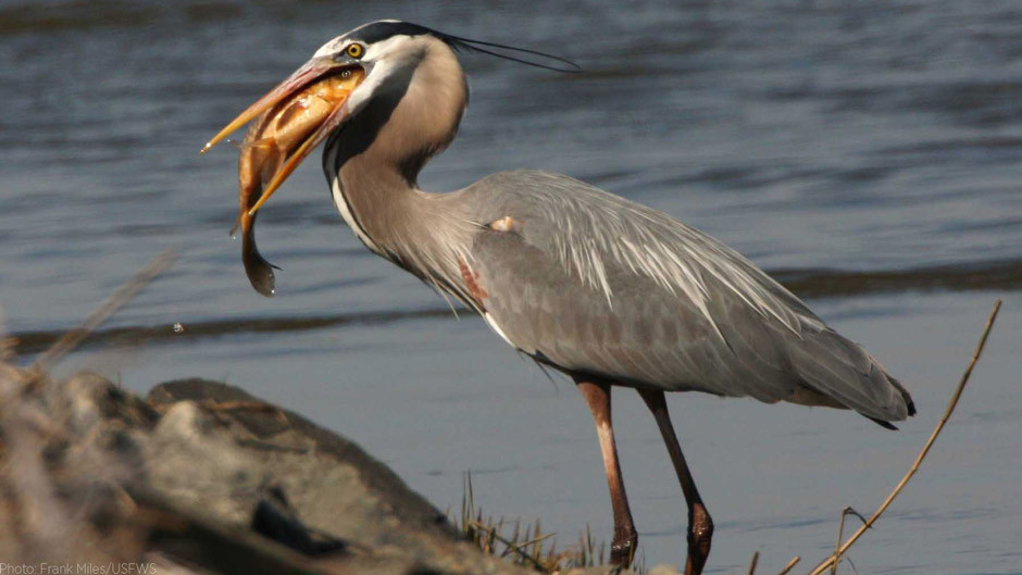 Great Blue Heron swallowing a large fish