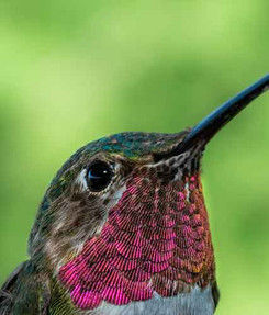 broad-tailed-hummingbird-home-page.jpg