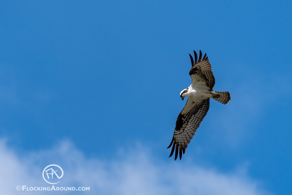 An Osprey in Wyoming searches for food.